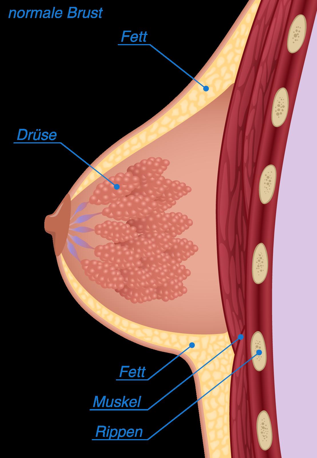 Skizze Querschnitt normale Brust